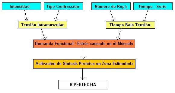Estimulando la Hipertrofia