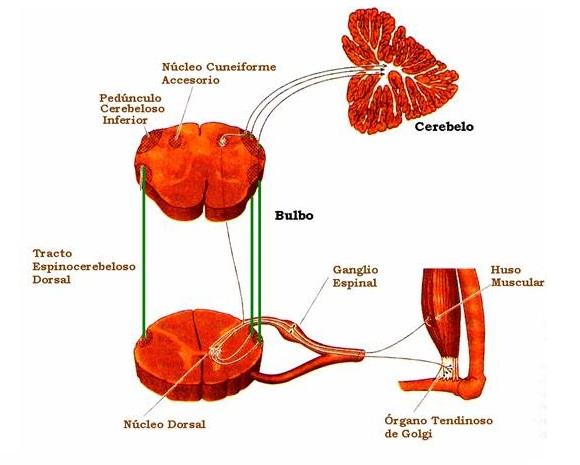 Organo de Golgi