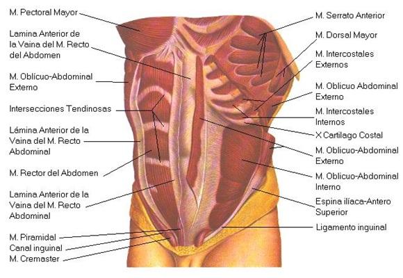 Activación de los abdominales a diferentes velocidades — MASmusculo ...
