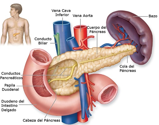 Una Introduccion Sobre El Pancreas on pancreus location