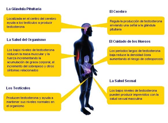 La regulaci n de testosterona aumenta las espectativas de vida masmusculo strongsite ponte - Alimentos con testosterona ...