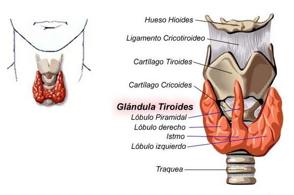 La glándula tiroide — MASmusculo STRONGsite - ¡Ponte en forma!
